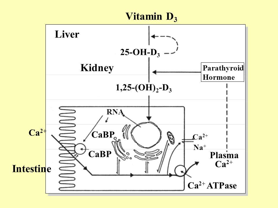 25-OH-D 3 1,25-(OH) 2 -D 3 Liver Kidney Intestine RNA Ca 2+ Na + Plasma Ca 2+ Ca 2+ ATPase CaBP Parathyroid Hormone Vitamin D 3