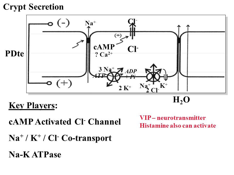 Crypt Secretion H2OH2O 2 Cl - Na + K+K+ PDte cAMP ? Ca 2+ Cl - Na + ATP ADP + Pi 3 Na + 2 K + Key Players: cAMP Activated Cl - Channel Na + / K + / Cl