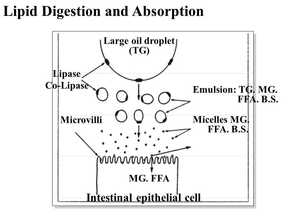 Emulsion: TG. MG. FFA. B.S. Micelles MG. FFA. B.S. Large oil droplet (TG) MG. FFA Intestinal epithelial cell Microvilli Lipase Co-Lipase Lipid Digesti