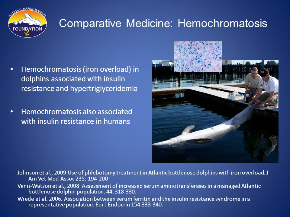 Comparative Medicine: Hemochromatosis Hemochromatosis (iron overload) in dolphins associated with insulin resistance and hypertriglyceridemia Hemochromatosis also associated with insulin resistance in humans Johnson et al., 2009 Use of phlebotomy treatment in Atlantic bottlenose dolphins with iron overload.