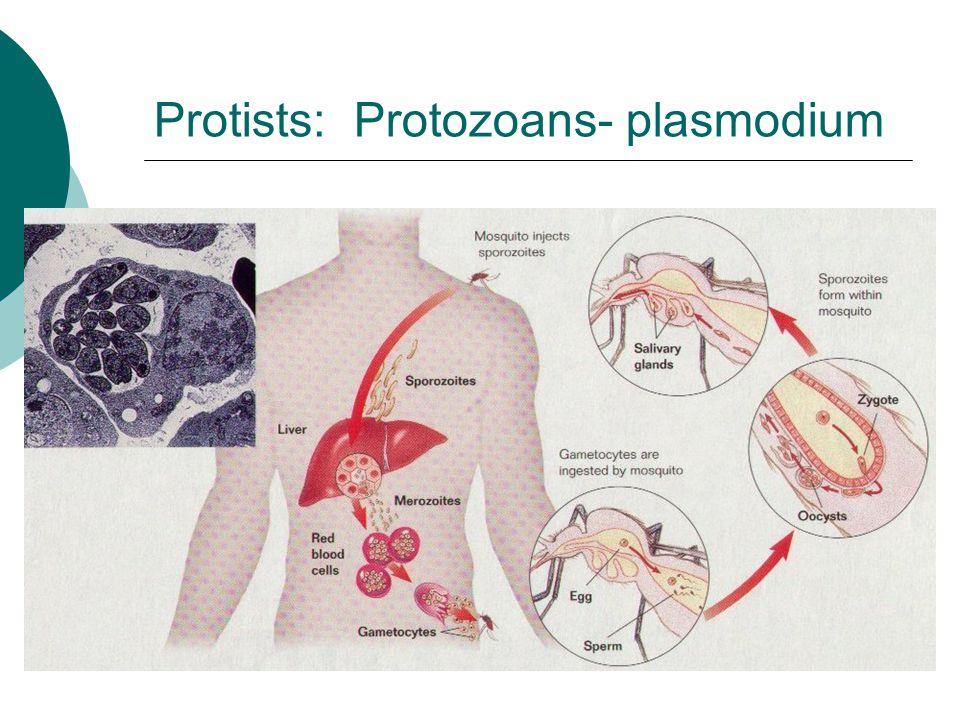 Protists: Protozoans- plasmodium