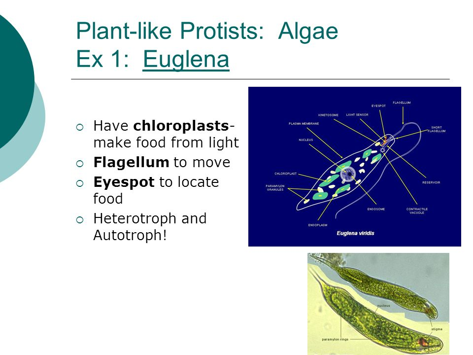 Plant-like Protists: Algae Ex 1: EuglenaEuglena  Have chloroplasts- make food from light  Flagellum to move  Eyespot to locate food  Heterotroph a