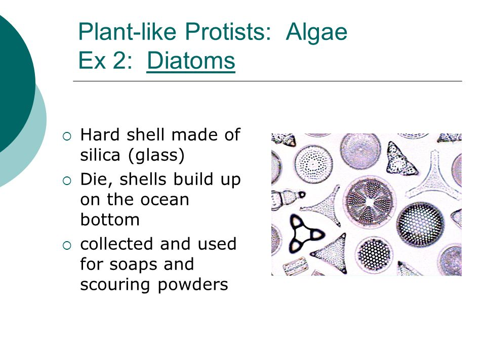 Plant-like Protists: Algae Ex 2: DiatomsDiatoms  Hard shell made of silica (glass)  Die, shells build up on the ocean bottom  collected and used fo