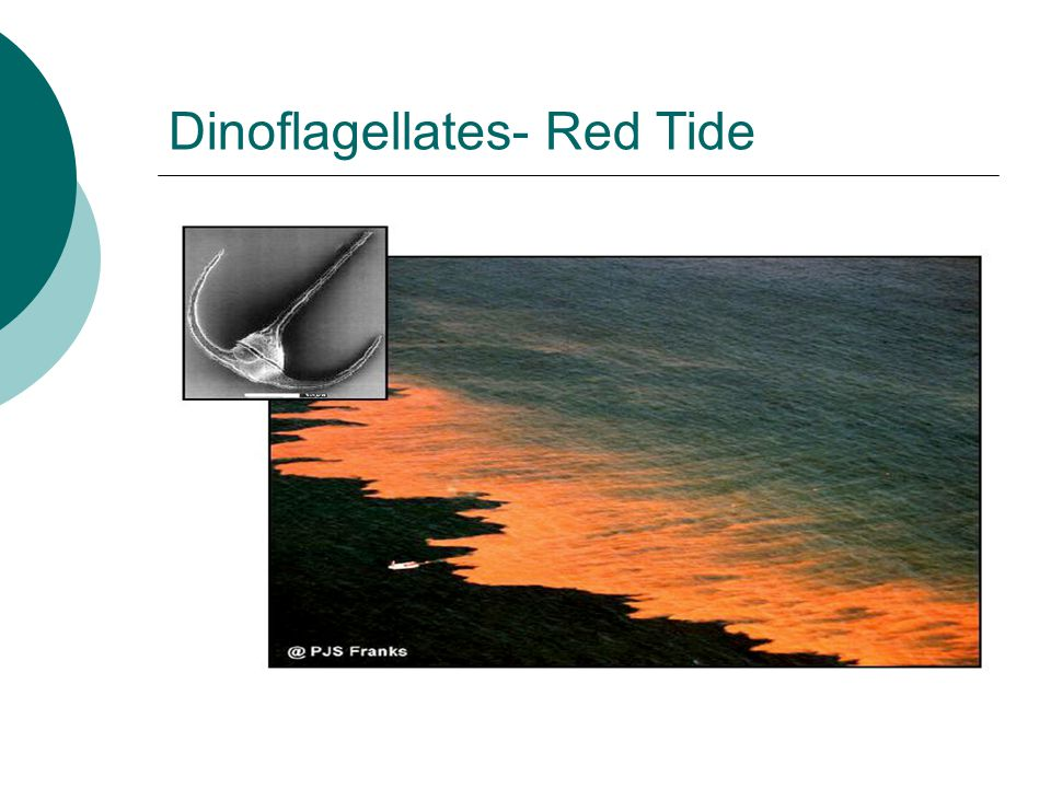 Dinoflagellates- Red Tide
