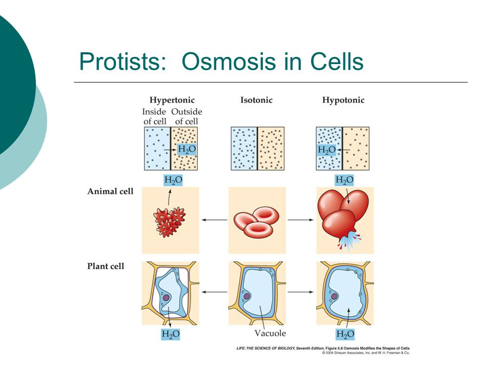 Protists: Osmosis in Cells