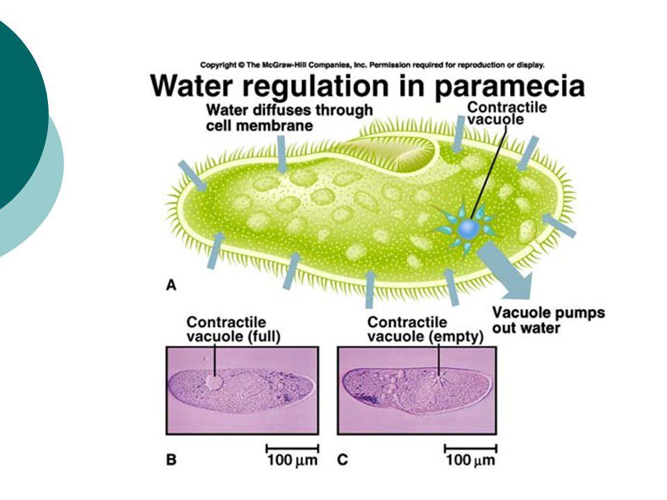 Osmosis- water balance