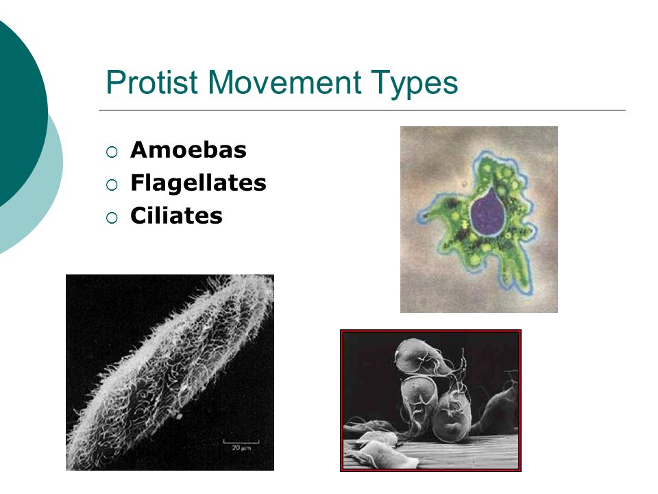 Protist Movement Types  Amoebas  Flagellates  Ciliates