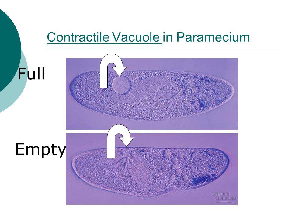 Contractile Vacuole Contractile Vacuole in Paramecium Full Empty