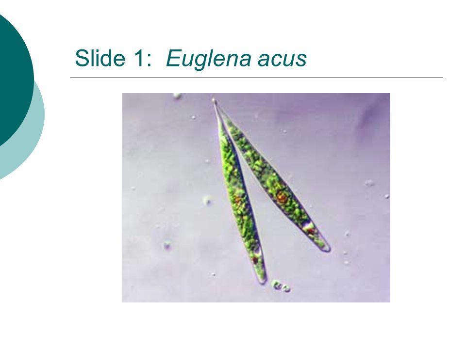 Slide 1: Euglena acus