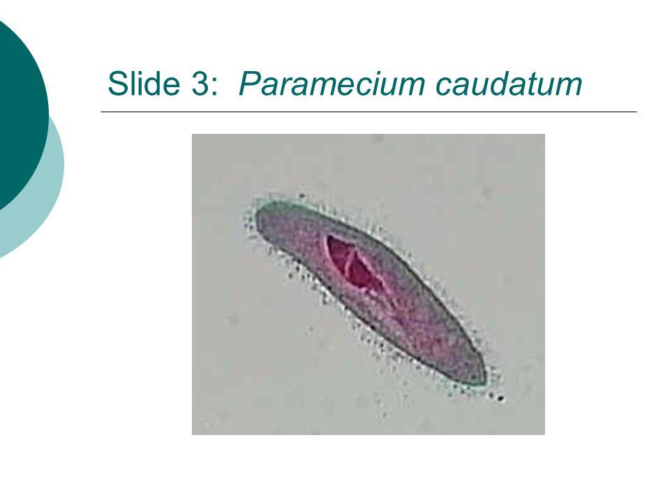 Slide 3: Paramecium caudatum