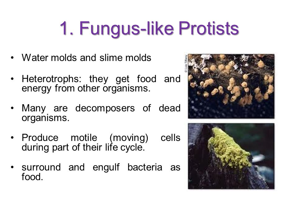 Slime molds live as separate cells most of their lives, feeding on bacteria.