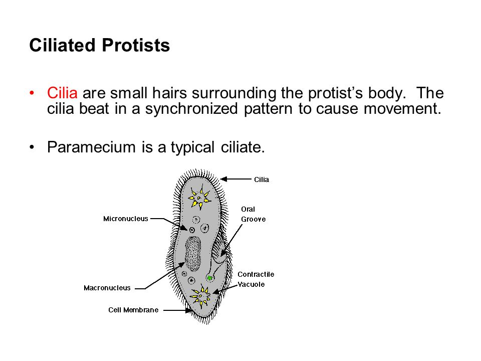 Ciliated Protists Cilia are small hairs surrounding the protist's body. The cilia beat in a synchronized pattern to cause movement. Paramecium is a ty