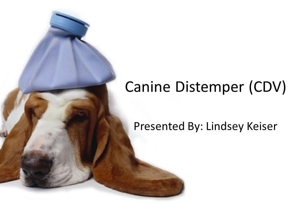 Canine Distemper (CDV) Presented By: Lindsey Keiser