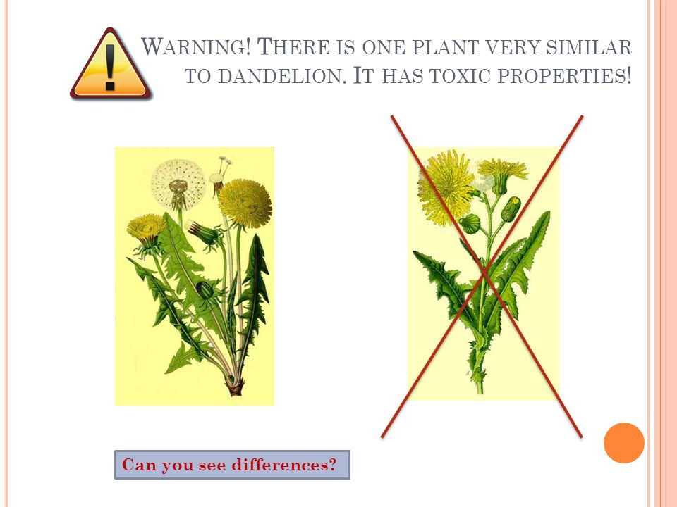 Can you see differences. W ARNING . T HERE IS ONE PLANT VERY SIMILAR TO DANDELION.