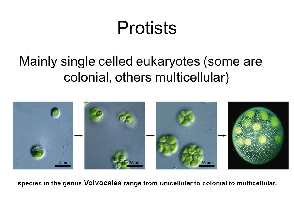 Protists Mainly single celled eukaryotes (some are colonial, others multicellular) species in the genus Volvocales range from unicellular to colonial to multicellular.