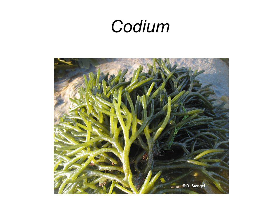 Codium © D. Stengel
