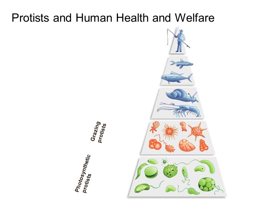 Grazing protists Photosynthetic protists Protists and Human Health and Welfare