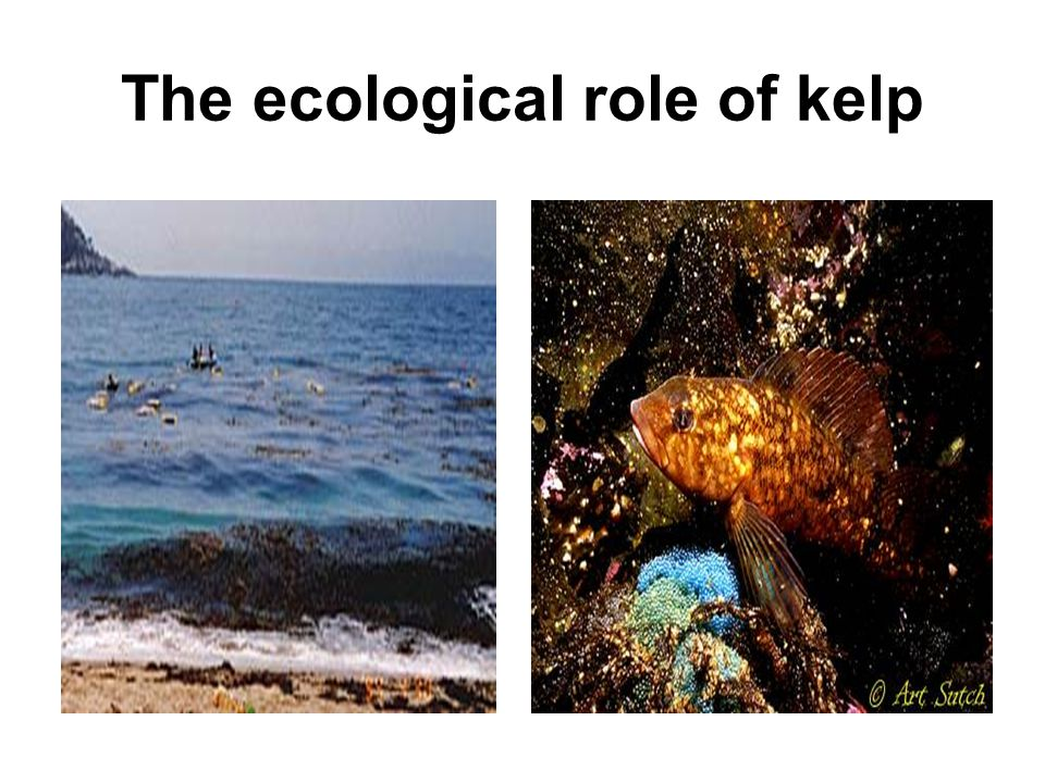 The ecological role of kelp