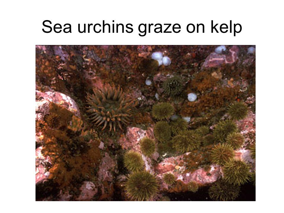 Sea urchins graze on kelp