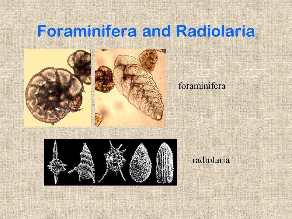Foraminifera and Radiolaria radiolaria foraminifera
