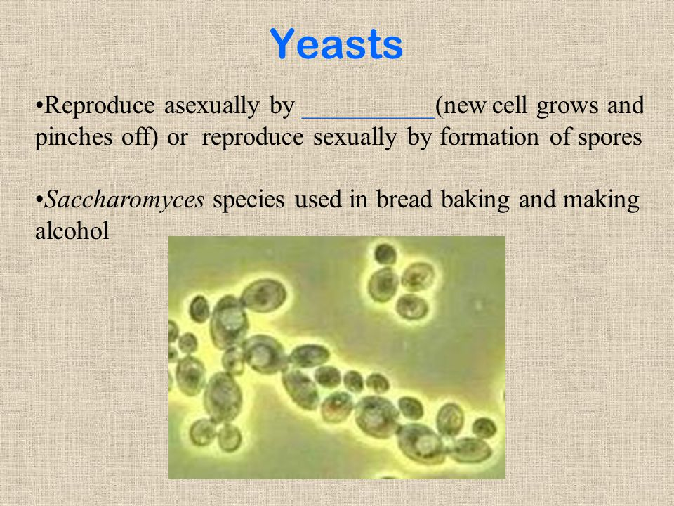 Yeasts Reproduce asexually by __________(new cell grows and pinches off) or reproduce sexually by formation of spores Saccharomyces species used in bread baking and making alcohol