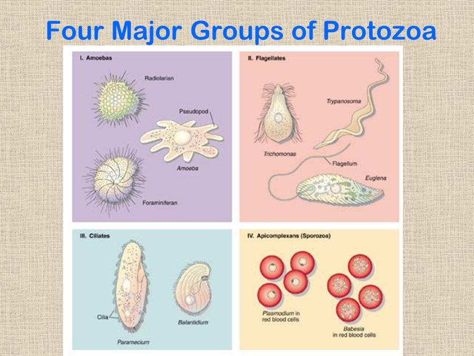 Four Major Groups of Protozoa