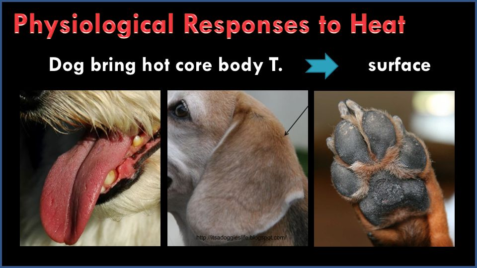Dog bring hot core body T. surface