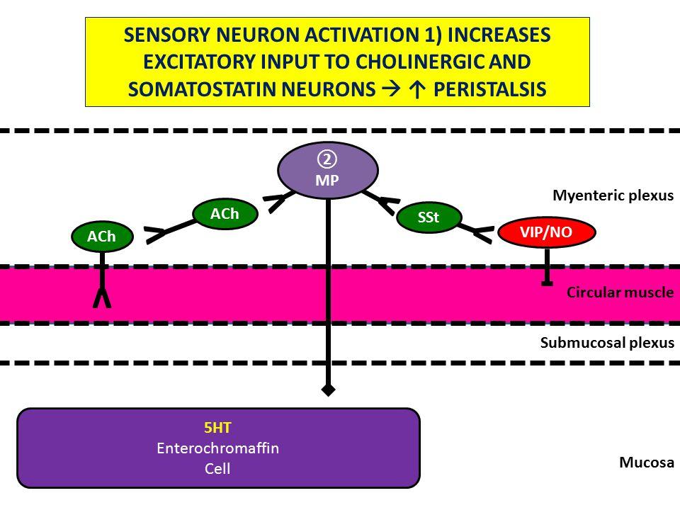 v Mucosa Submucosal plexus Circular muscle Myenteric plexus 5HT Enterochromaffin Cell ACh v v SSt v ② MP VIP/NO v ACh SENSORY NEURON ACTIVATION 1) INCREASES EXCITATORY INPUT TO CHOLINERGIC AND SOMATOSTATIN NEURONS  ↑ PERISTALSIS