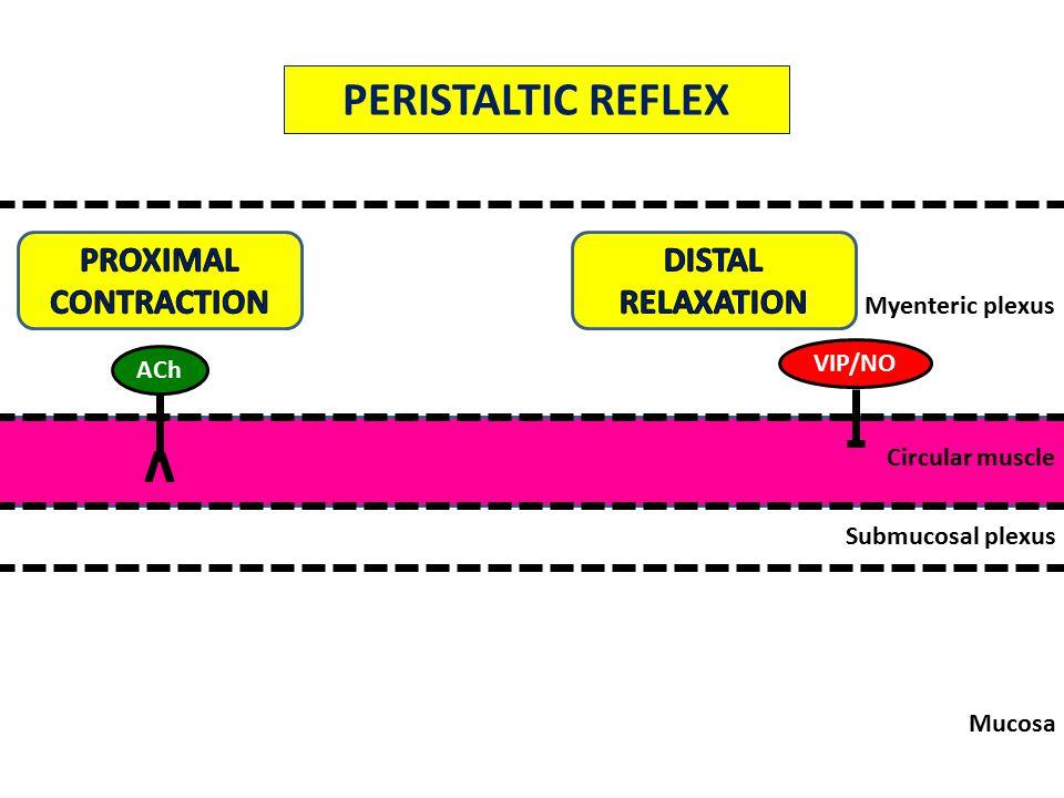 Mucosa Submucosal plexus Circular muscle Myenteric plexus ACh v VIP/NO PERISTALTIC REFLEX