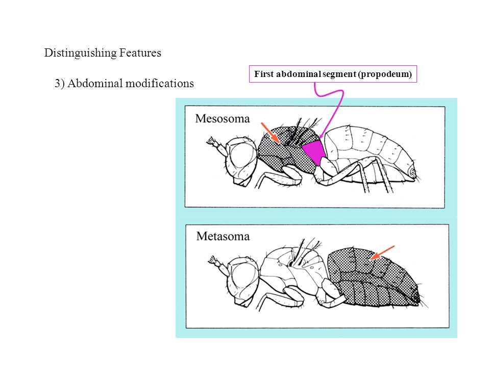 Distinguishing Features 3) Abdominal modifications First abdominal segment (propodeum)
