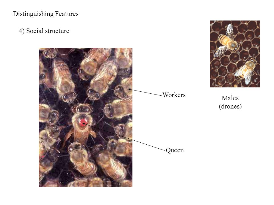 Distinguishing Features 4) Social structure Queen Workers Males (drones)