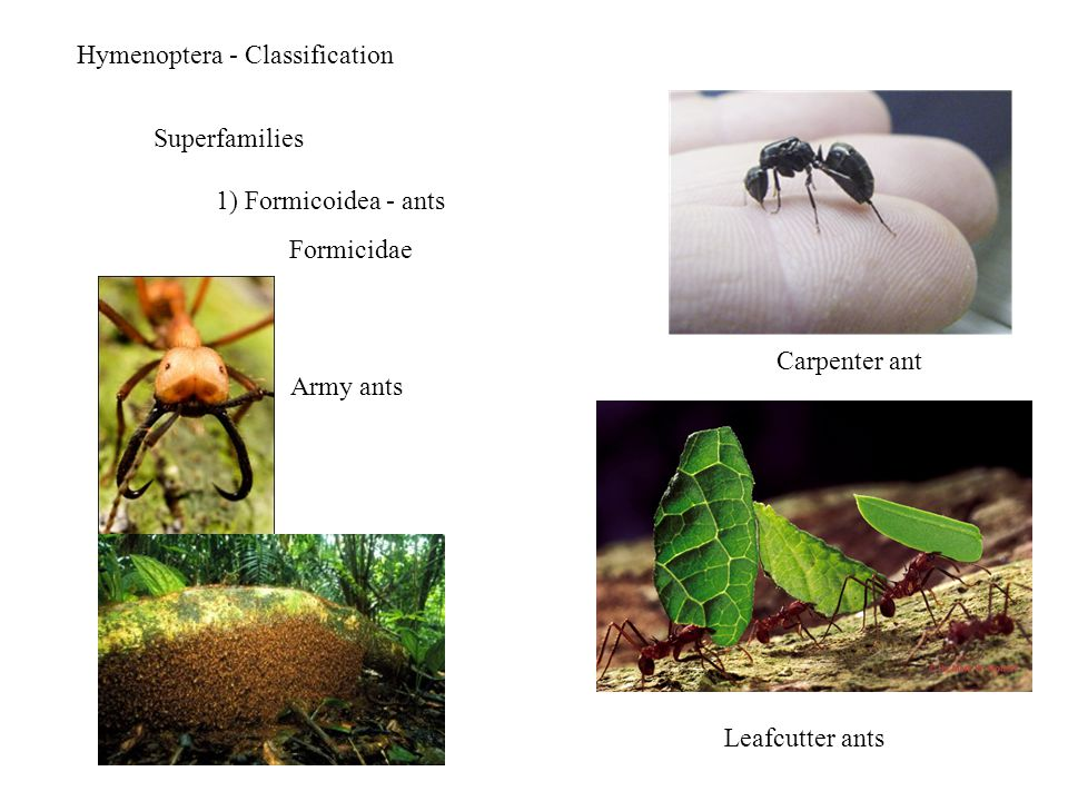 Hymenoptera - Classification Superfamilies 1) Formicoidea - ants Formicidae Army ants Leafcutter ants Carpenter ant