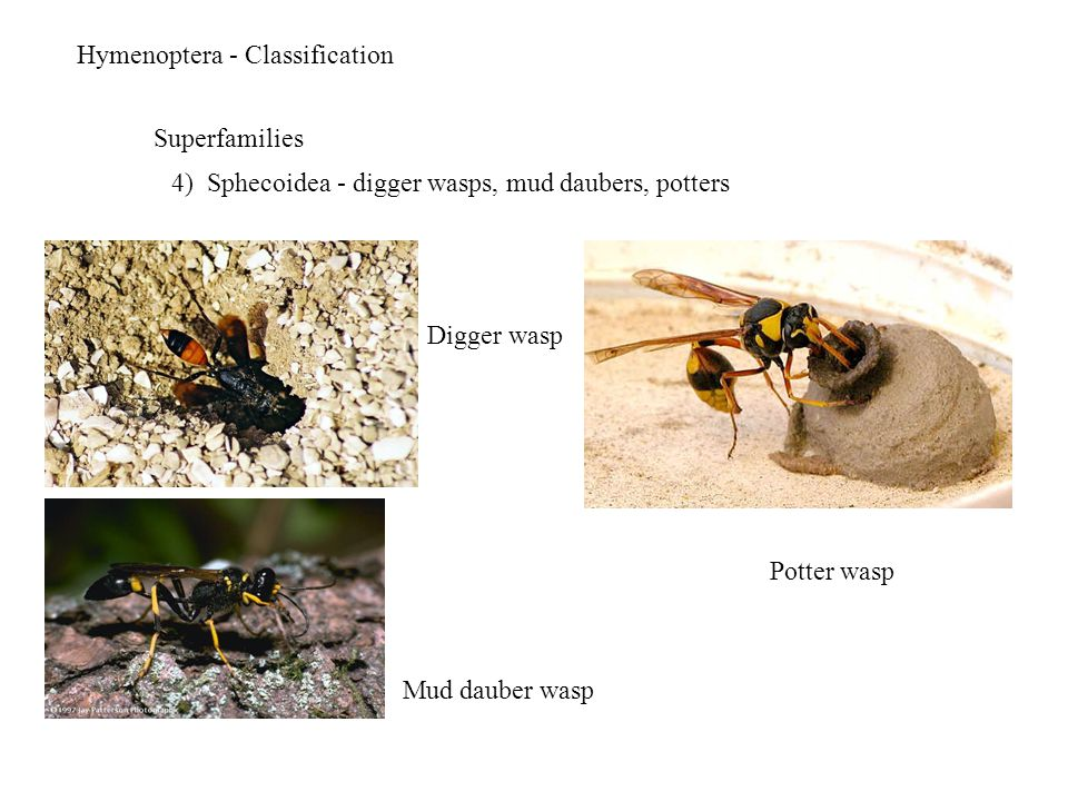 Hymenoptera - Classification Superfamilies 4) Sphecoidea - digger wasps, mud daubers, potters Digger wasp Mud dauber wasp Potter wasp