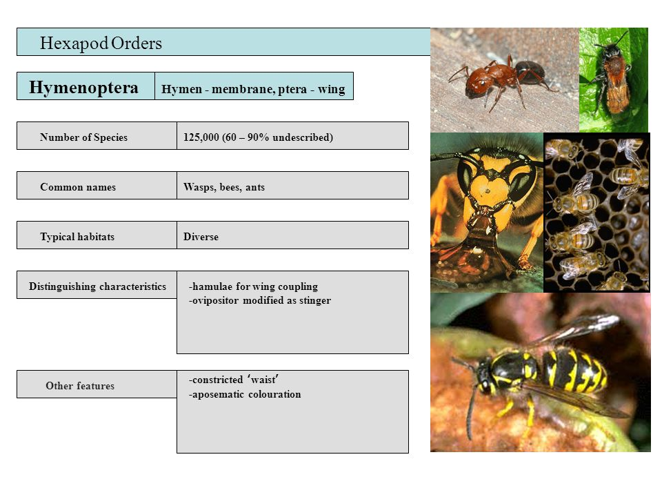 Hymenoptera Number of Species Common names Distinguishing characteristics Other features Typical habitats Hexapod Orders 125,000 (60 – 90% undescribed