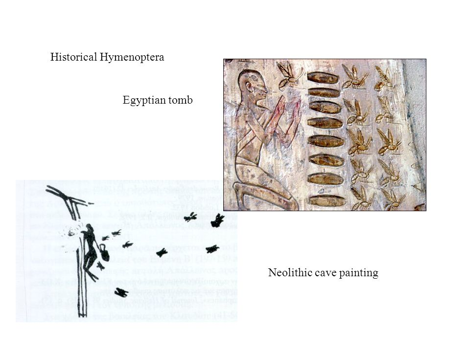 Historical Hymenoptera Egyptian tomb Neolithic cave painting