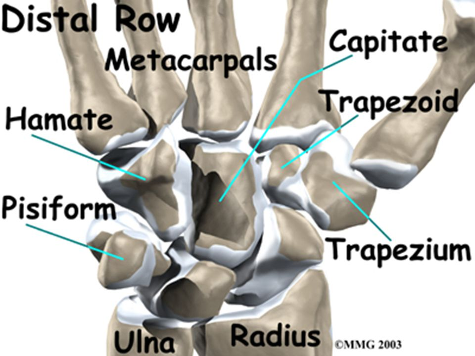 Blood Supply Vessels may enter only at the sites of ligamentous attachment: – the flexor retinaculum at the tubercle, – the volar ligaments along the palmar surface, – and the dorsal radiocarpal and radial collateral ligaments along the dorsal ridge.