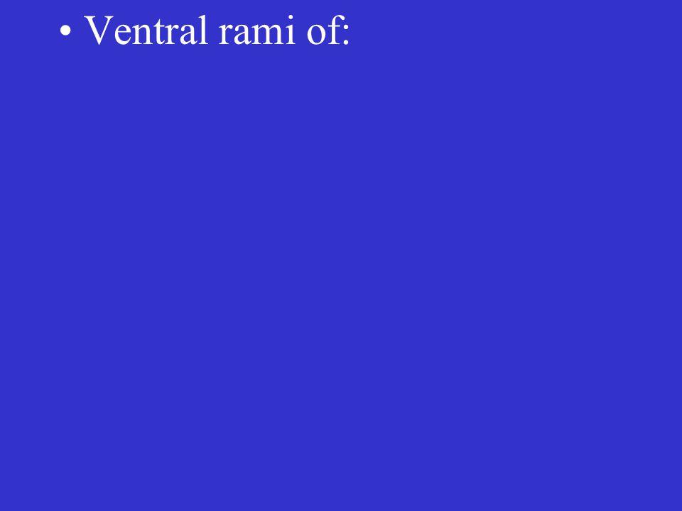 Ventral rami of: