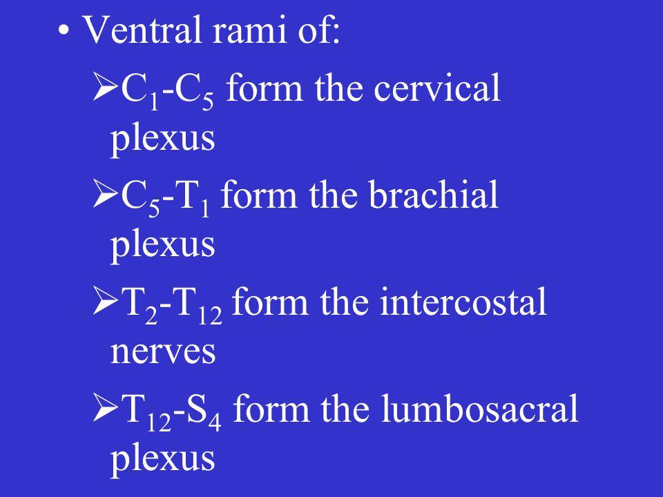 Ventral rami of:  C 1 -C 5 form the cervical plexus  C 5 -T 1 form the brachial plexus  T 2 -T 12 form the intercostal nerves  T 12 -S 4 form the lumbosacral plexus