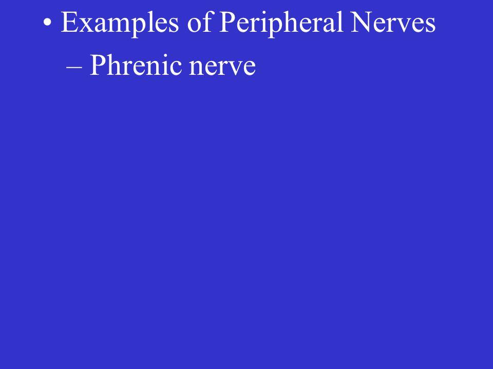 – Phrenic nerve