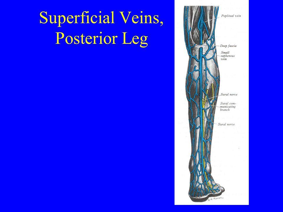 Superficial Veins, Posterior Leg