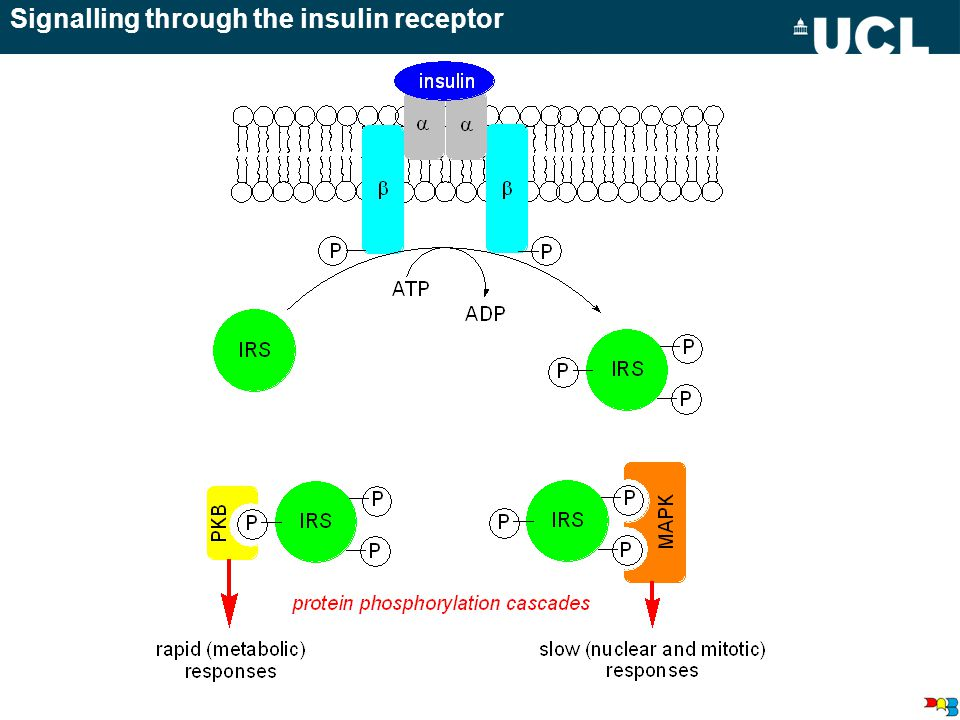 Signalling through the insulin receptor