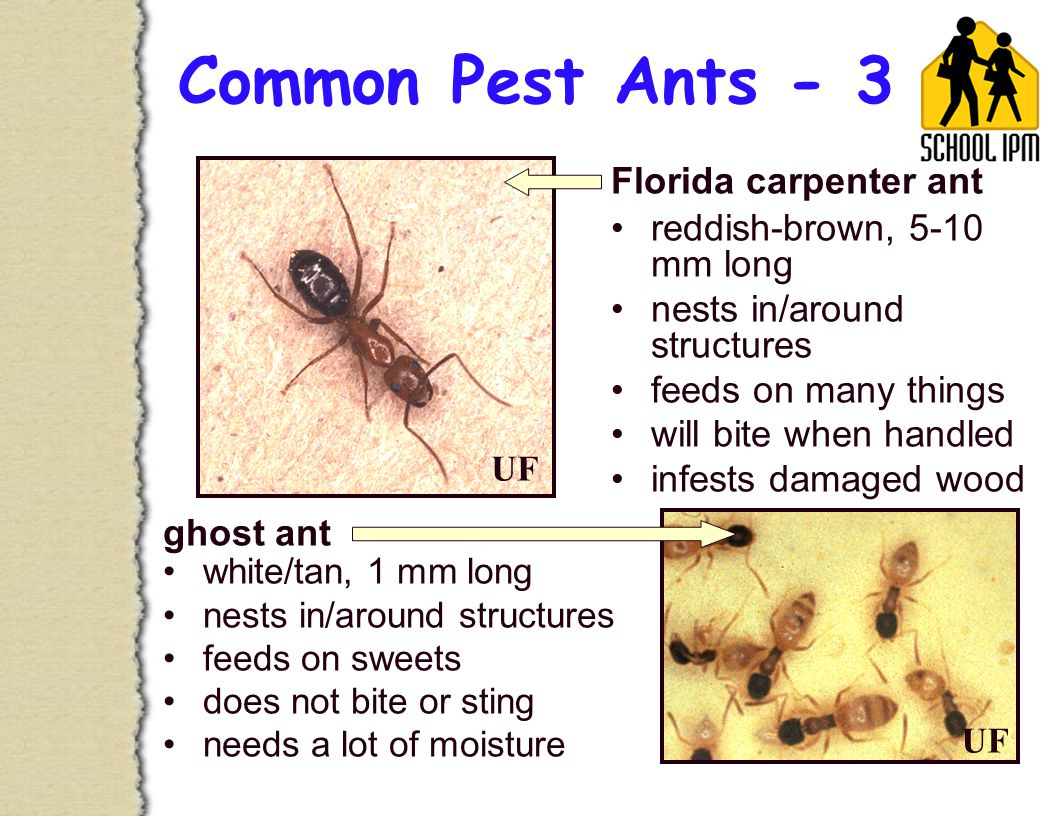 Common Pest Ants - 3 reddish-brown, 5-10 mm long nests in/around structures feeds on many things will bite when handled infests damaged wood Florida carpenter ant ghost ant white/tan, 1 mm long nests in/around structures feeds on sweets does not bite or sting needs a lot of moisture UF