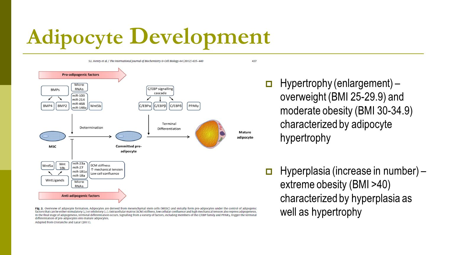 Adipocyte Development  Hypertrophy (enlargement) – overweight (BMI 25-29.9) and moderate obesity (BMI 30-34.9) characterized by adipocyte hypertrophy  Hyperplasia (increase in number) – extreme obesity (BMI >40) characterized by hyperplasia as well as hypertrophy