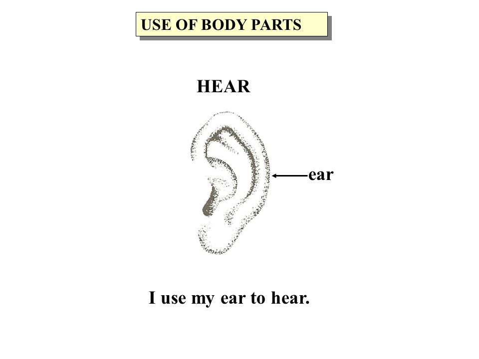 I use my ear to hear. ear USE OF BODY PARTS HEAR