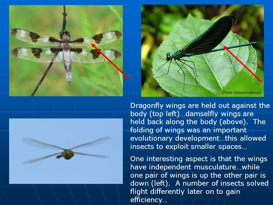 Dragonfly wings are held out against the body (top left)…damselfly wings are held back along the body (above).