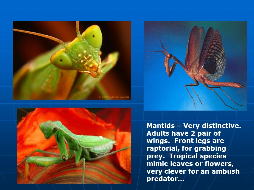 Mantids – Very distinctive. Adults have 2 pair of wings.