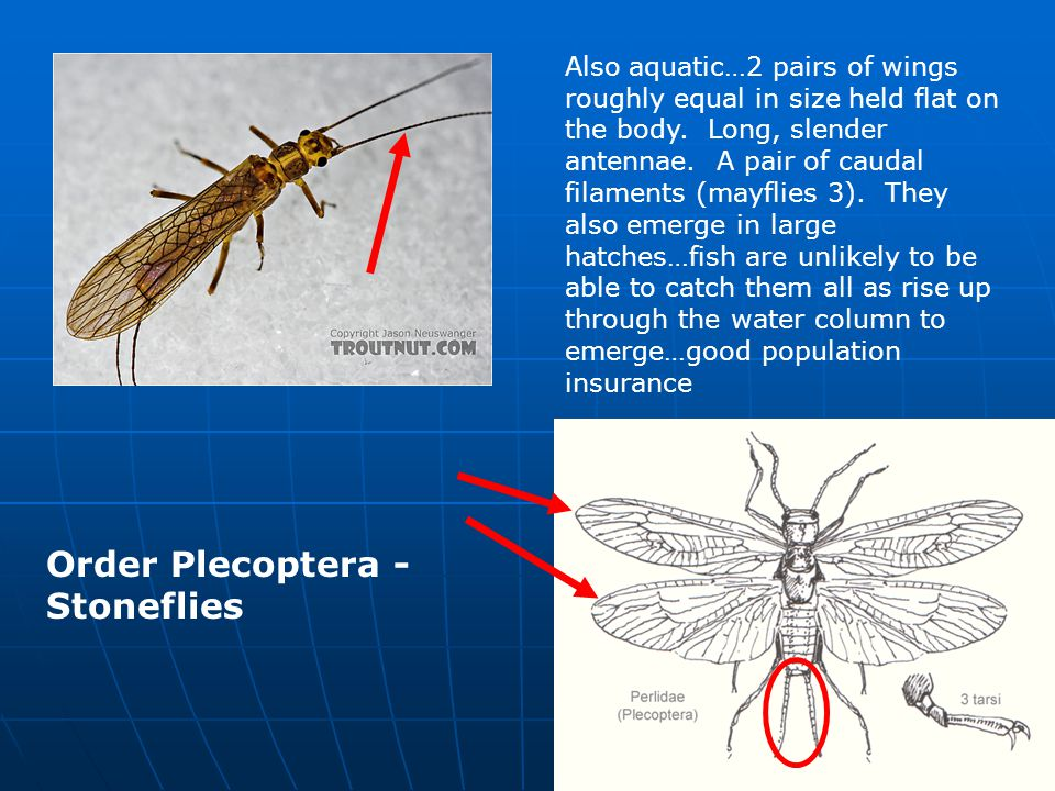 Order Trichoptera - Caddisflies Another aquatic…trichoptera = hairy wing.