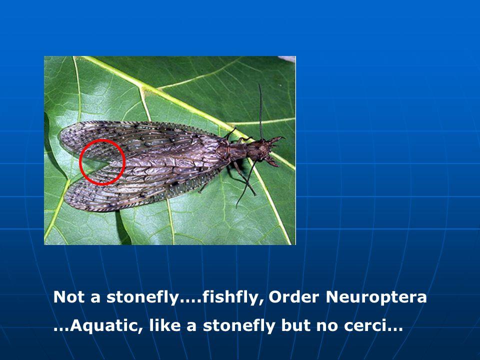 Not a stonefly….fishfly, Order Neuroptera …Aquatic, like a stonefly but no cerci…