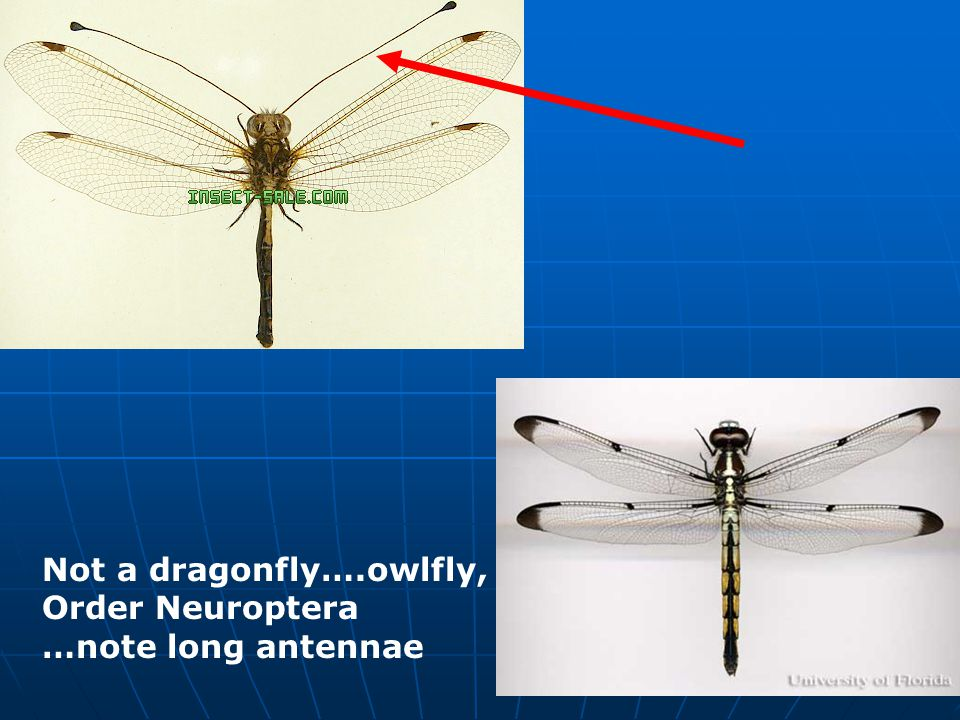 Not a dragonfly….owlfly, Order Neuroptera …note long antennae