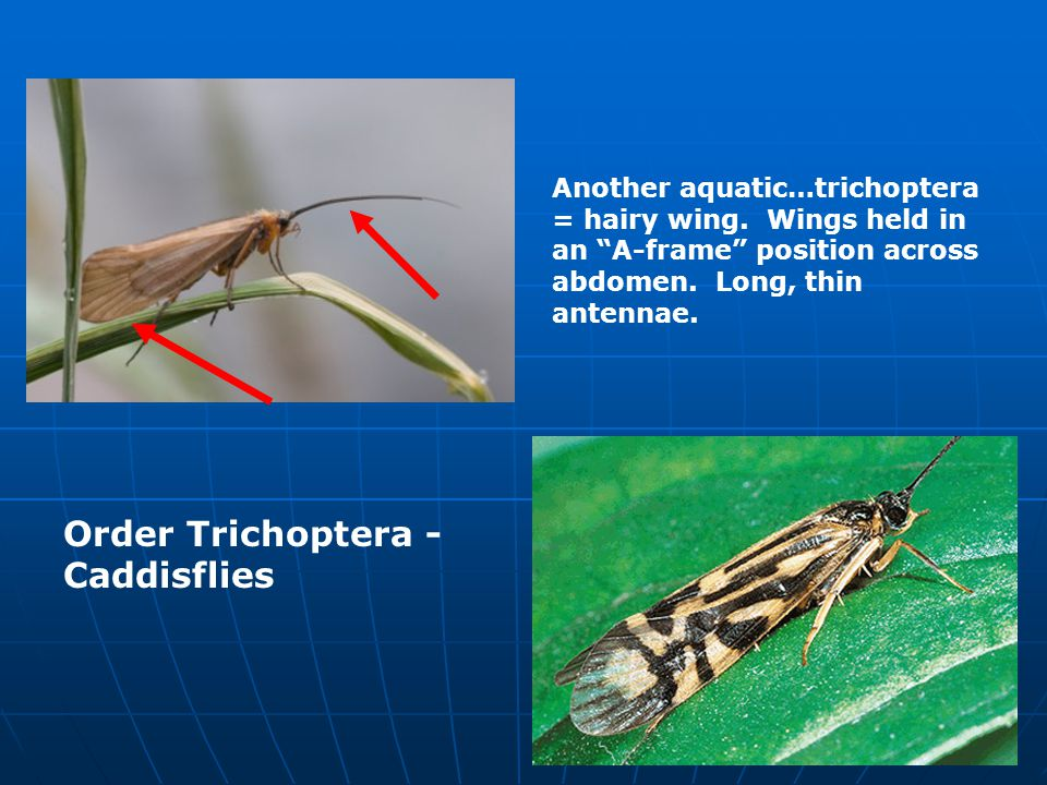 Order Hemiptera - Bugs Front wing usally thickened at base, membranous at tip.